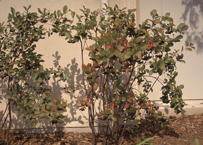 Black Chokeberry Bush