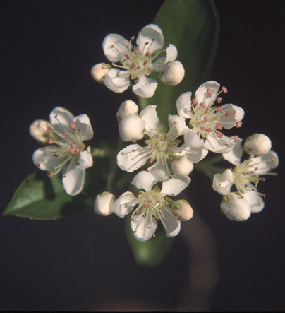 Black Chokeberry Flowers