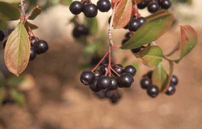 Black Chokeberry Fruit