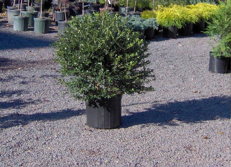 Our Green Luster Holly Priced at $35 