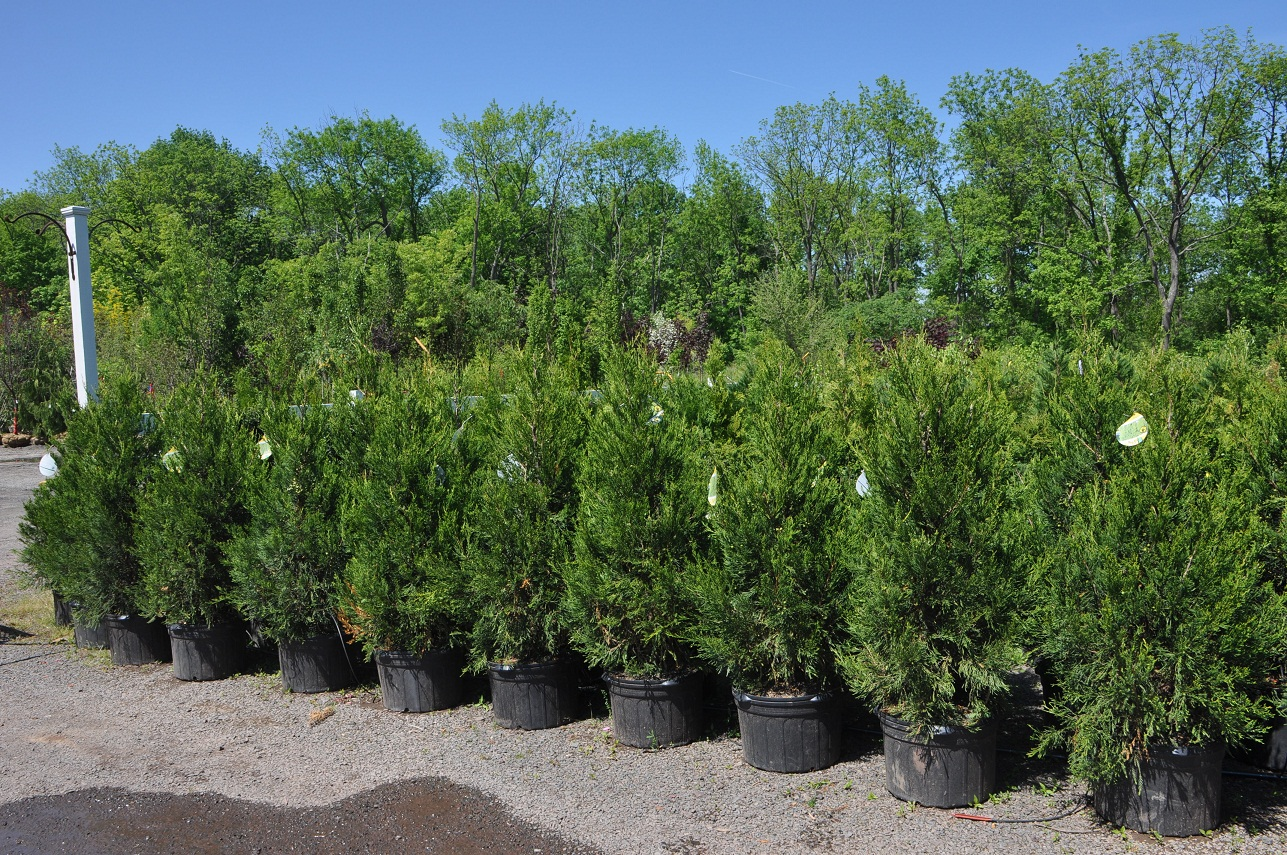 Hetz Columnar Junipers