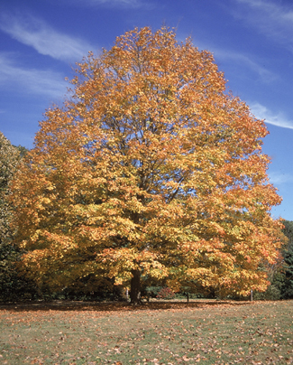 Sugar Maple Tree in the Fall
