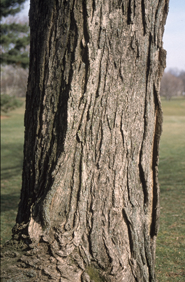 Sugar Maples Trunks