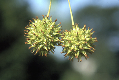 Sweetgum Fruit