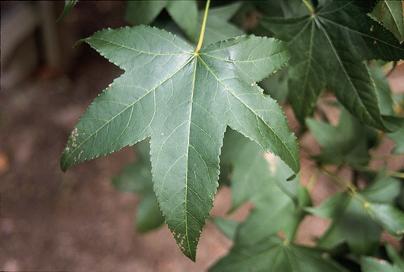 Leaf of a Sweetgum tree