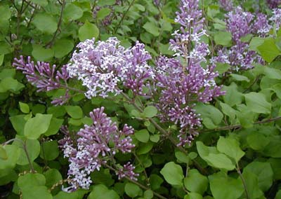 French Lilac in full bloom